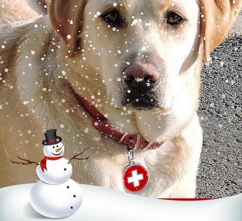 chien avec sa médaille gravée Red Dingo drapeau Suisse